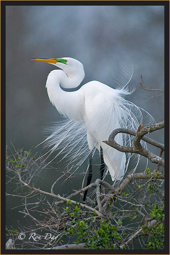 Great Egret, Courtship Display, High Island